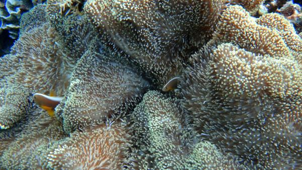 Clownfish bersembunyi di balik anemon
