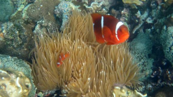 anemon dan clownfish (sumber: koleksi pribadi, kamera: Sony TX-10)