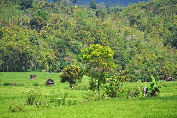 sawah dengan latar belakang kebun kayu manis