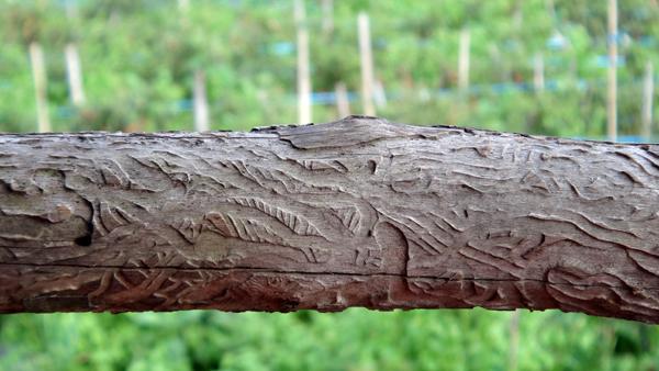 kayu manis kering (kayu bakar)