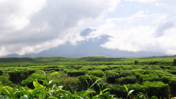 Perkebunan Teh dengan latar belakang Gunung Kerinci