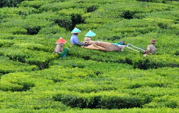 mengumpulkan hasil memetik teh