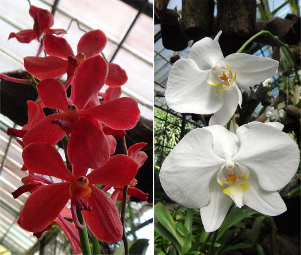 Dendrobium Merah (kiri) ; Phalaenopsis Putih (kanan)