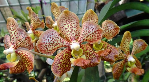 Dendrobium Bintik - Endemi Anggrek Indonesia