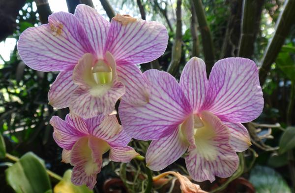Phalaenopsis Bergaris Merah