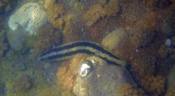 Moa garis terang gelap bersemayam di dasar laut