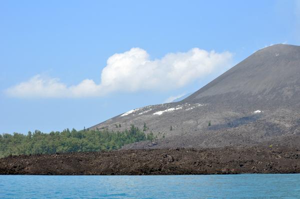 vegetasi cemara di anak krakatau