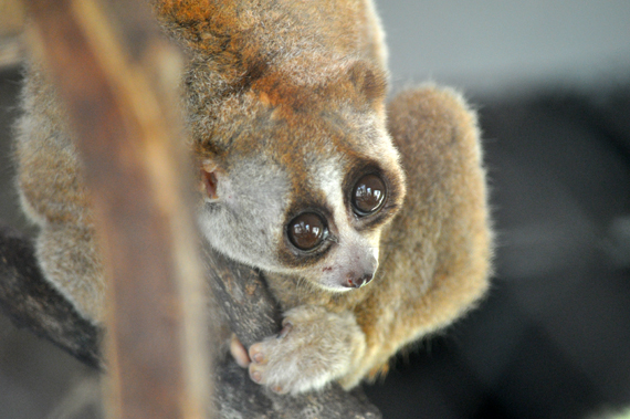 kukang - primata yang hampir punah