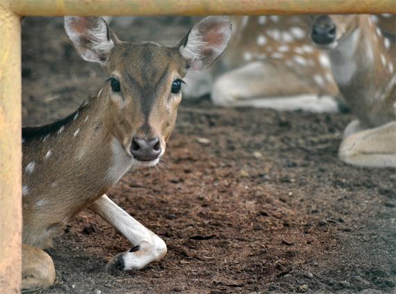 rusa totol - salah satu penghuni Taman Rimbo Zoo