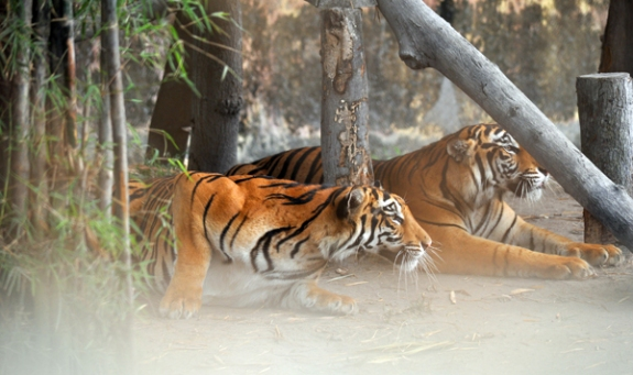 Harimau Sumatra - salah satu koleksi Taman Rimbo Zoo