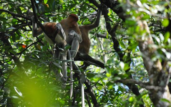 Bekantan hewan endemik khas pulau Borneo