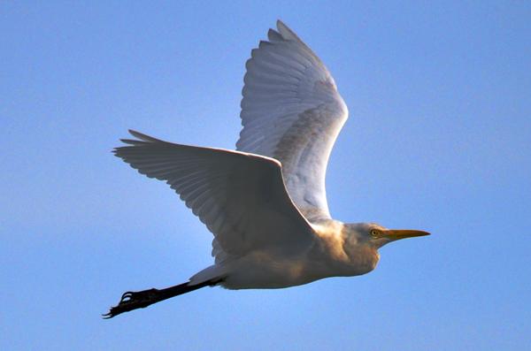 Olsen Pelican