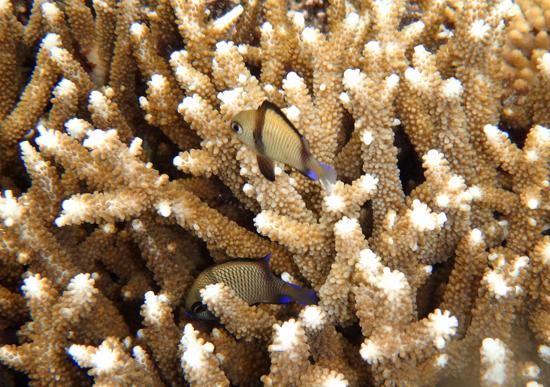 Sembunyi - ikan di antara karang