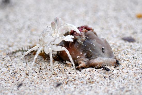 Berbagi - Kepiting dan lalat menikmati sepotong ubur-ubur