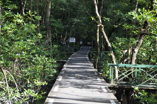 jembatan kayu membelah hutan mangrove