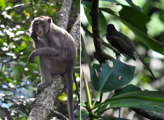Penghuni KKMB  - Kera Buntut Panjang (kiri) - Burung (kanan)