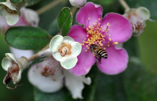 menghisap madu bunga