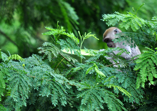 monyet liar - mendiami bukit di sisi jalan