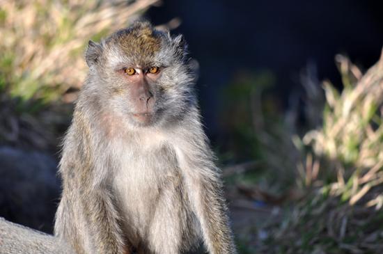 monyet liar nan nakal di Kelimutu