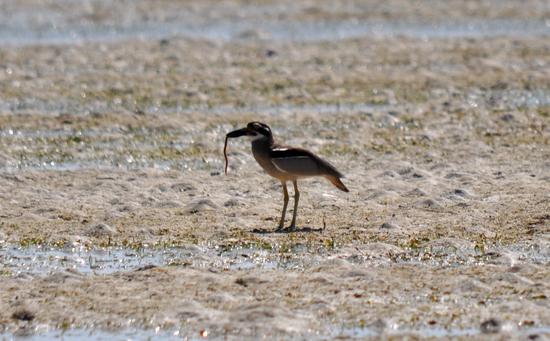 burung wontong atau burung gosong berburu cacing di pasir