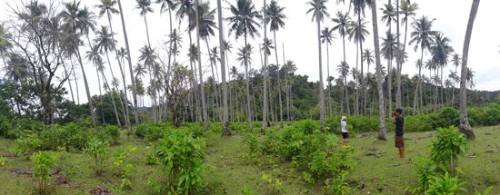 vegetasi kebun kelapa