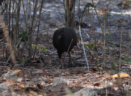 Burung Maleo (Macrocephalon maleo)