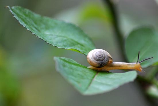 siput di atas daun mawar