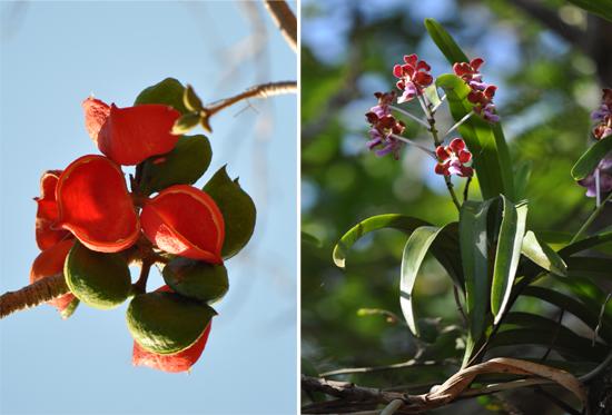 buah pala (kiri) ; anggrek (kanan)