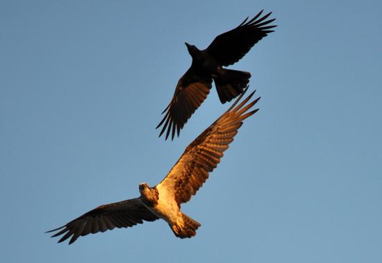 pertarungan elang dan gagak di atas bukit