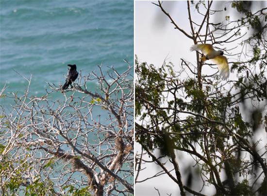 Gagak kampung (Corvus macrorhynchos) ; Kakaktua  jambul kuning (Cacatua sulphurea)
