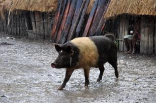 babi pun ikut berpose
