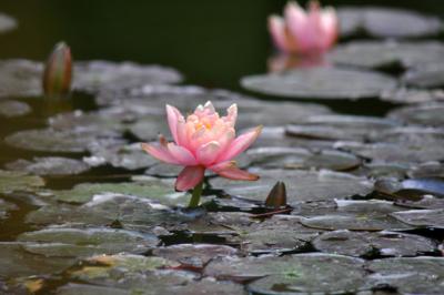 bunga teratai di kolam