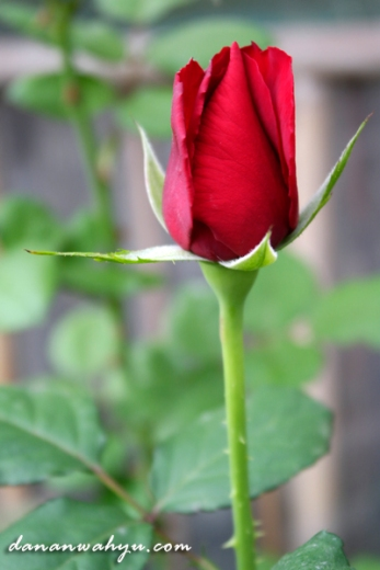 mawar merah kuncup