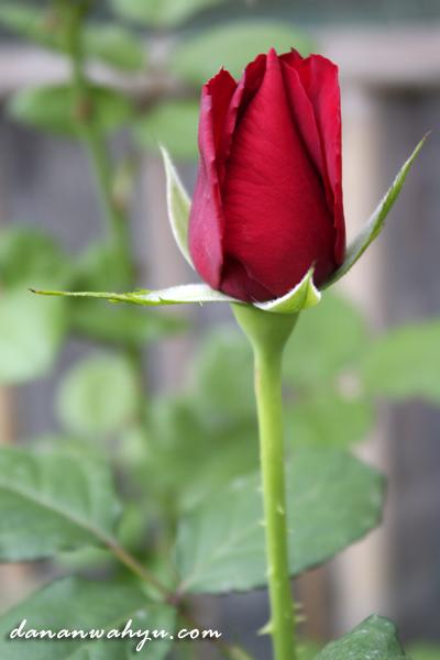 Download 720 Gambar Bunga Mawar Yang Masih Kuncup Paling Cantik
