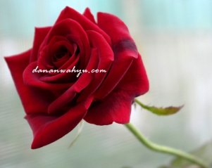 dapat juga mawar merah