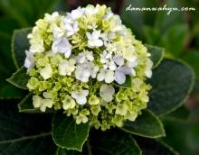 kembang soka hijau
