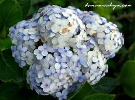 bunga soka biru