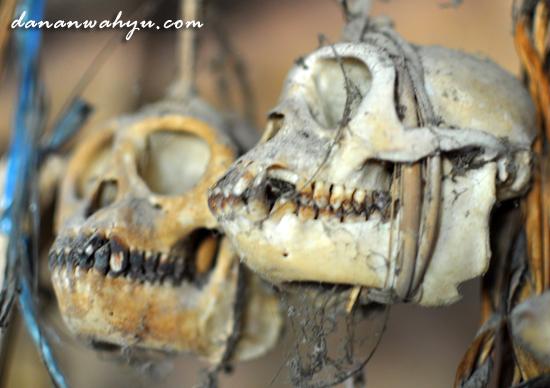 tengkorak tulang monyet digantung dengan rotan di langit-langit rumah