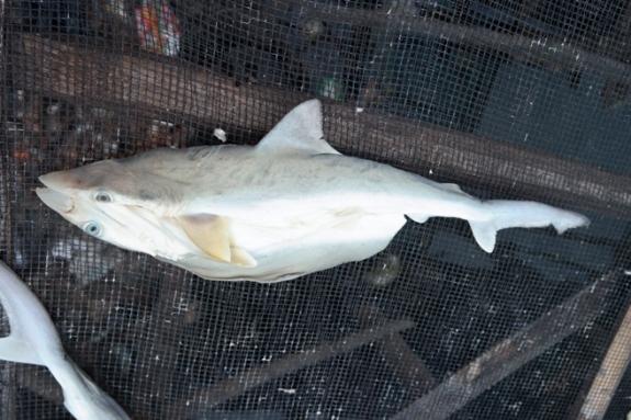 dari bentuk sirip , moncong dan ekor dapat disimpulkan ikan hiu