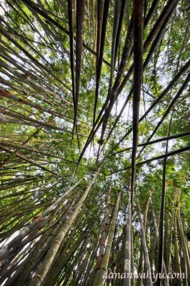 hutan bambu di Taman Nasional Kerinci Seblat