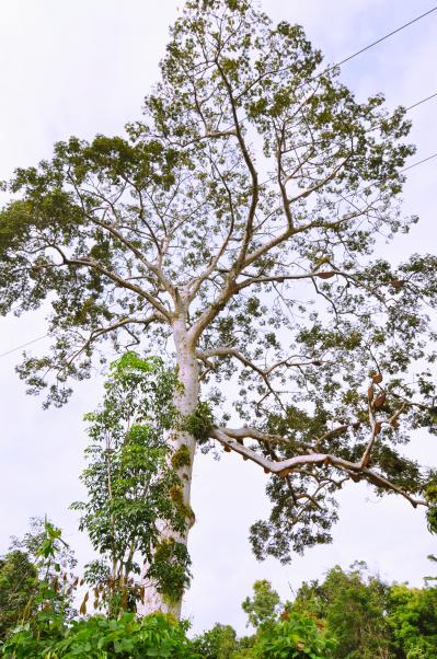 pohon lebah dalam kisah Sokolo Rimba ternyata benar ada