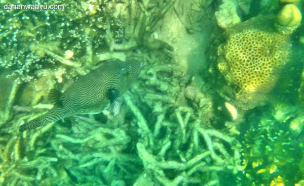 kedatangan disambut ikan buntal