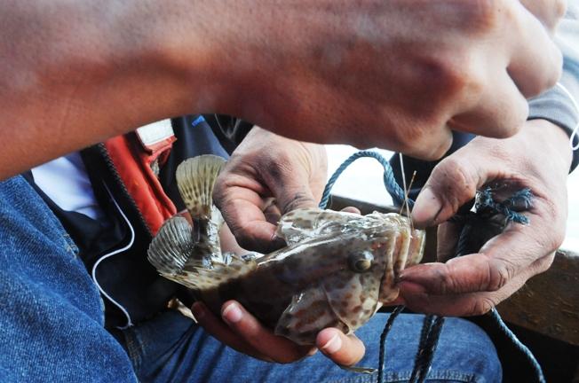 horeee ikan kerapu macan