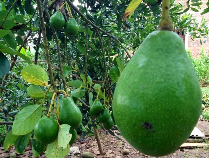 buah alpukat di kebun ibu