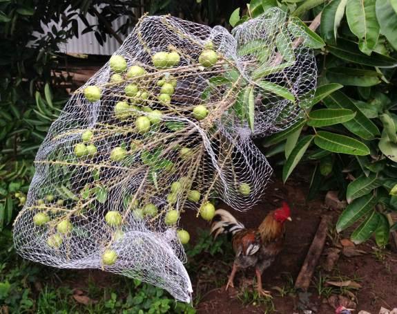 pohon kelengkeng dan ayam peliharaan Ibu