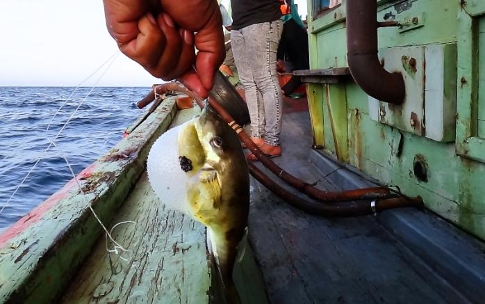 bukan sotong yang terkail tapi ikan buntal