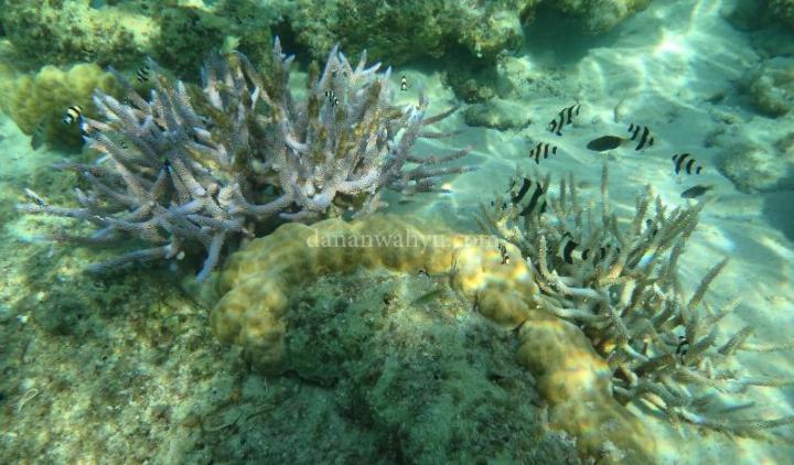 dunia bawah laut Tenggiling tak kalah memukau
