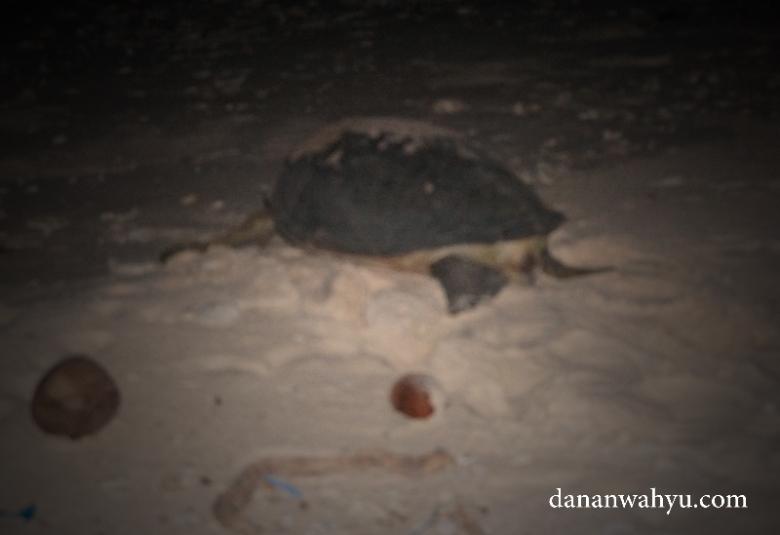penyu tidak jadi bertelur , dosa gua di Durai