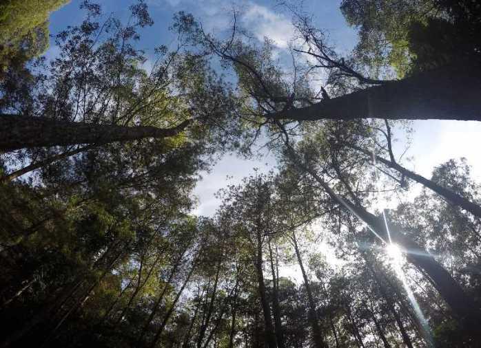 Hutan pinus pos satu jalur pendakian gunung Batur