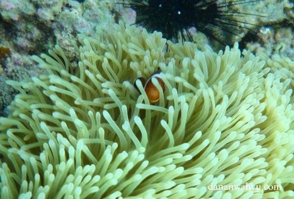 finding nemo di pulau Abang